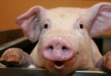 Учёные доказали, что домашние свиньи распознают человеческое лицо