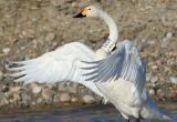 Ямальские лебеди снова будут зимовать в Азии