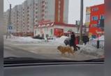 «Просто умная собака»: новоуренгойская дворняжка перешла дорогу на зеленый сигнал светофора (ВИДЕО)