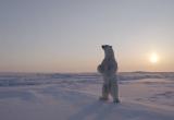Белый мишка позировал экспедиции «Север рядом», выехавшей на Чукотку из Нового Уренгоя (ВИДЕО)