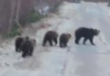 Житель Ямала встретился на дороге с медведицей и медвежатами (ВИДЕО)