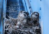 Ученые нашли соколиные гнезда на самой северной железной дороге (ФОТО)