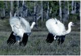 На Ямале выпустили четырех молодых журавлей, привезенных из заповедника (ФОТО, ВИДЕО)