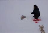 Мужчины из Норильска выкопали оленя, провалившегося в снег (ВИДЕО)