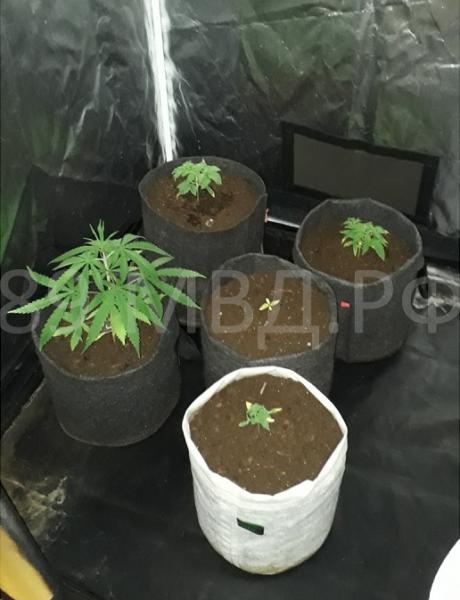 Муж выращивает дома коноплю кровь марихуана