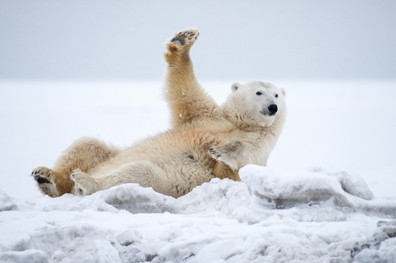 Прикольные картинки с белыми медведями, день картинки прикольные