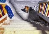 В Салехарде на территории детского сада прогуливалась лиса (ФОТО)