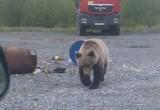 Возле Нового Уренгоя гуляет голодный медведь (ФОТО, ВИДЕО)