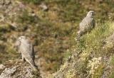 На Ямале продолжили мониторинг хищных птиц (ФОТО)