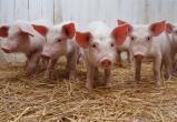Несчастный случай загубил тысячи свиных жизней в Тюменской области