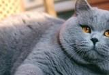 Британец Вася: специалисты рассказали о самых популярных породах и именах кошек в России (ОПРОС)