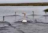 Ученые устанавливают природоохранный статус малых лебедей, обитающих на Ямале (ФОТО)