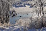 В Надыме на ручье замерзает мать-утка с двумя утятами (ФОТО)