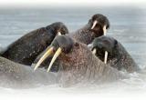 Ученые РАН разработали трехлетний план изучения моржей на Ямале (ФОТО)