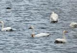 Турция, Болгария, Крым: ученые отследили, куда улетают зимовать лебеди с Ямала