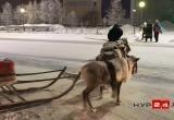 В Салехарде олени перешли через дорогу, соблюдая ПДД (ВИДЕО)