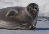 Проверила акваторию: нерпа искупалась в крещенской проруби в Ямбурге (ВИДЕО)